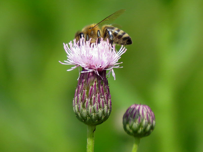 Розовый осот и медоносная пчела