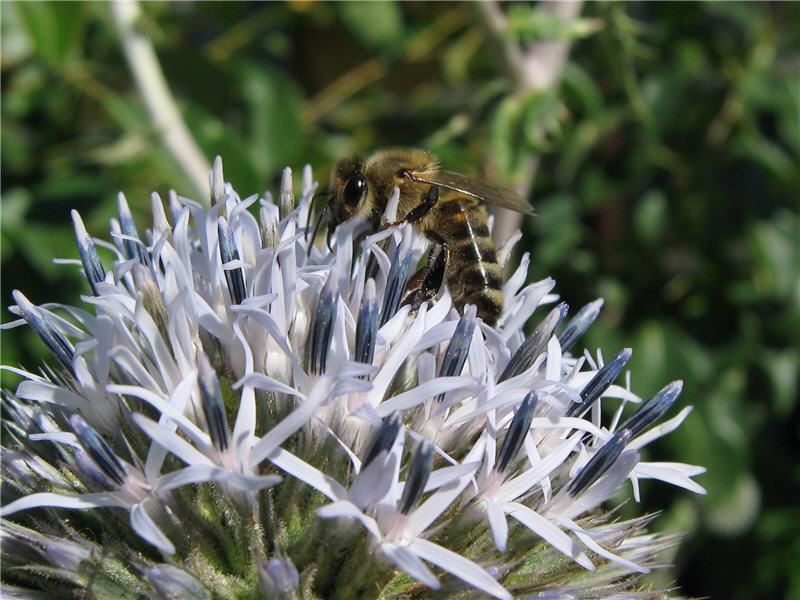 Пчёлы на соцветиях мордовника шароголового