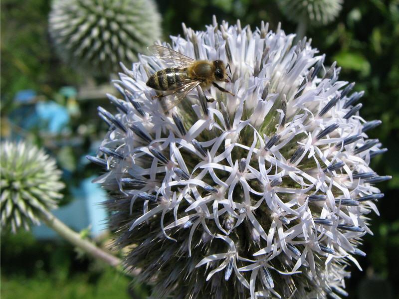 Мордовник фото пчела