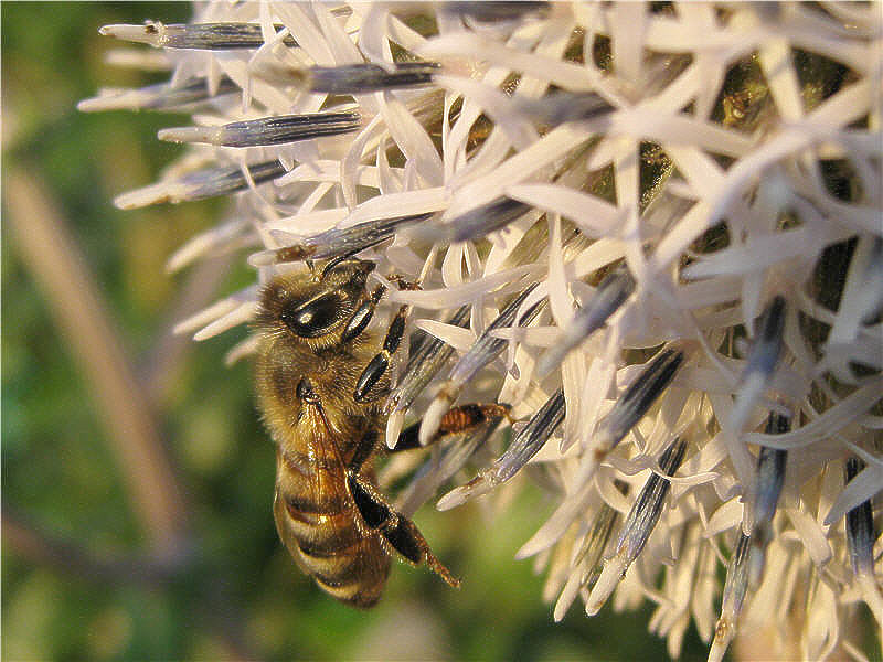 Пчела на соцветии мордовника