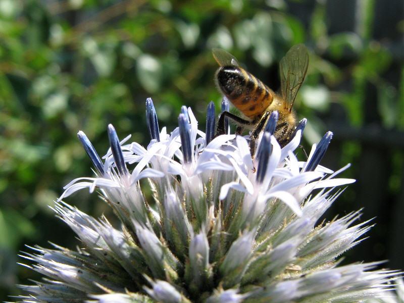 Пчёлка и мордовник шароголовый