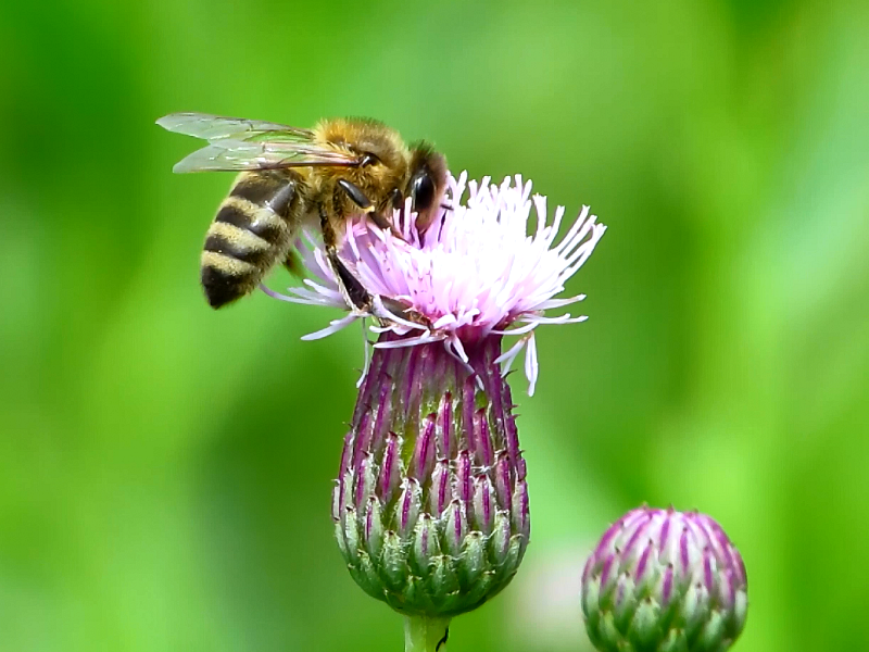 Пчела на цветке розового осота