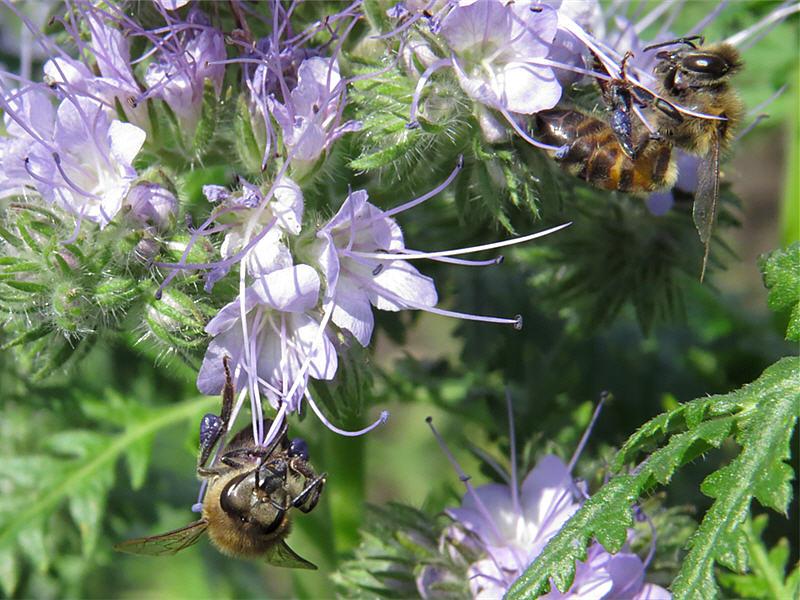 Цветки фацелии и медоносные пчёлы