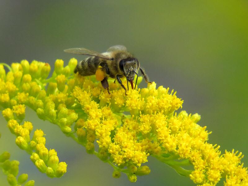 Пчёлы на цветах золотарника