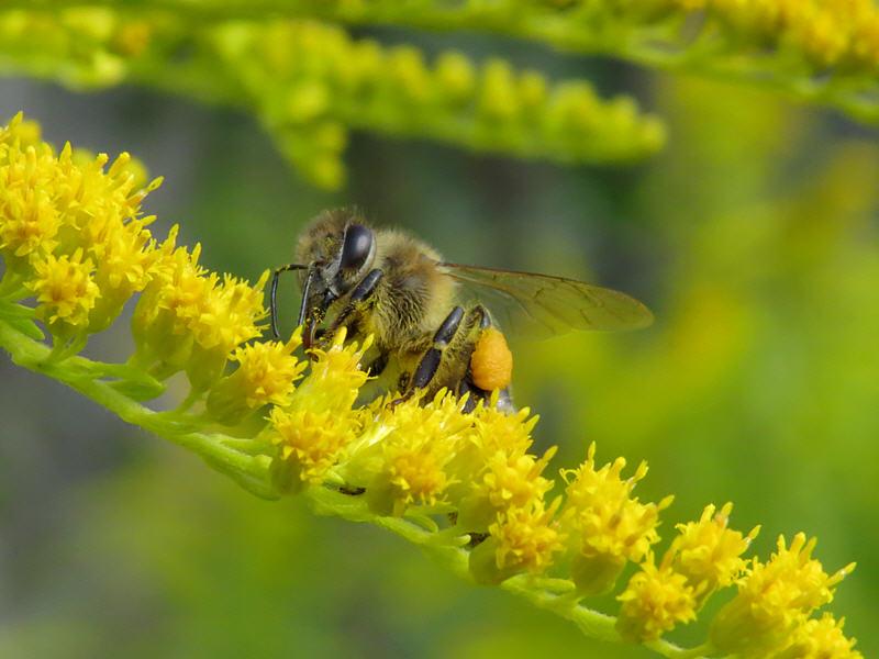 Пчела на цветке золотой розги