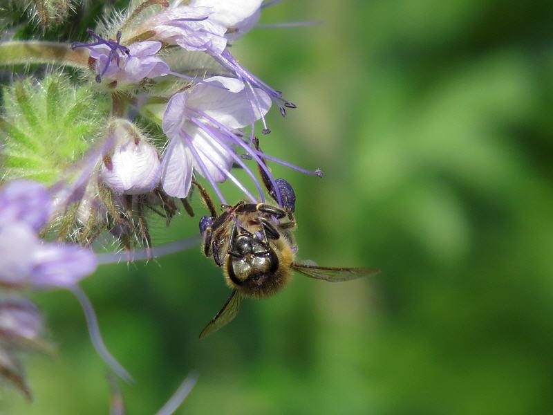 Фацелия и пчела