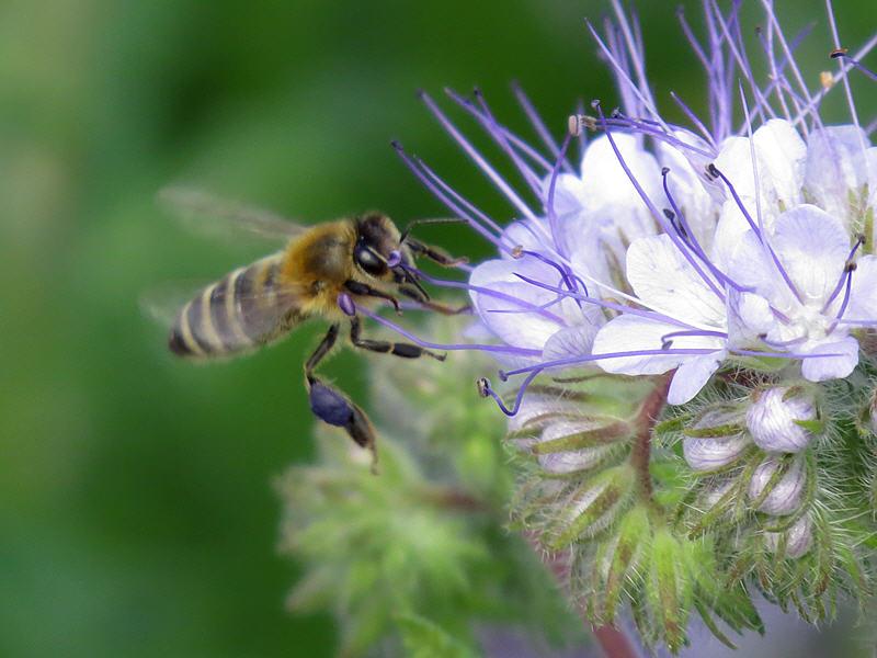 Пчела на цветках фацелии