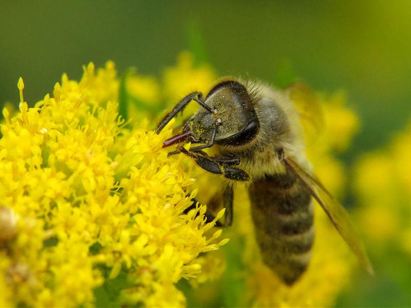 Пчёлы на цветках золотарника