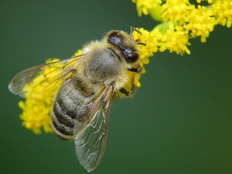 Пчела и золотарник канадский