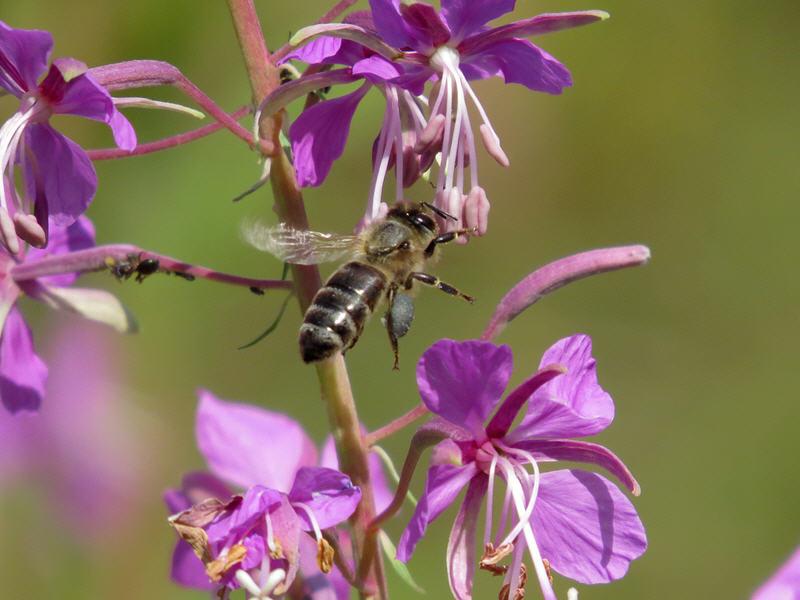 Пчела с пыльцой иван-чая