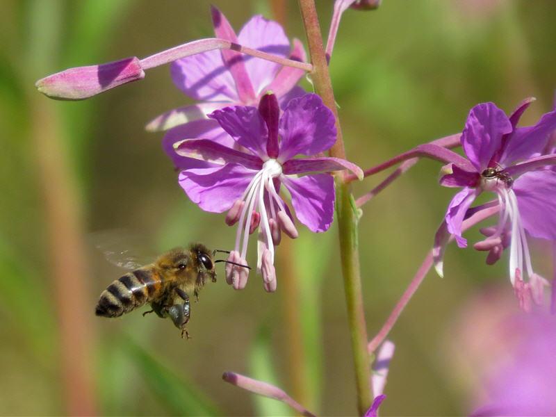 Полёт пчелы к цветку
