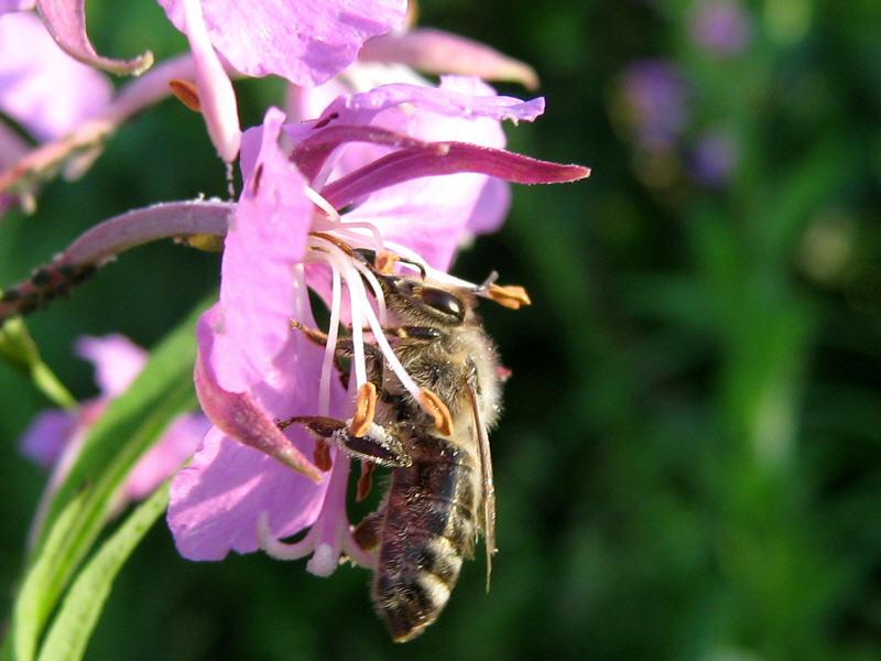 Пчела на цветке иван-чая