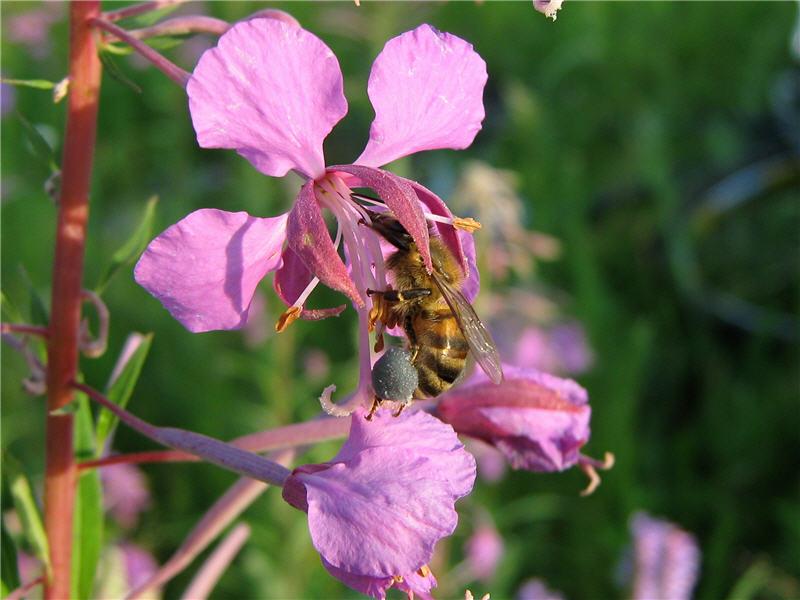 Иван-чай узколистный пчела фото