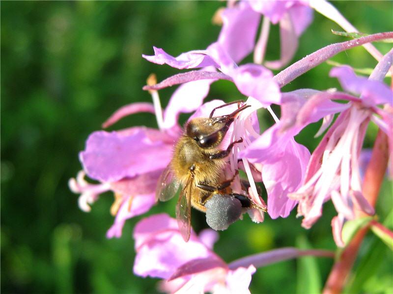Иван-чай дает нектар и пыльцу