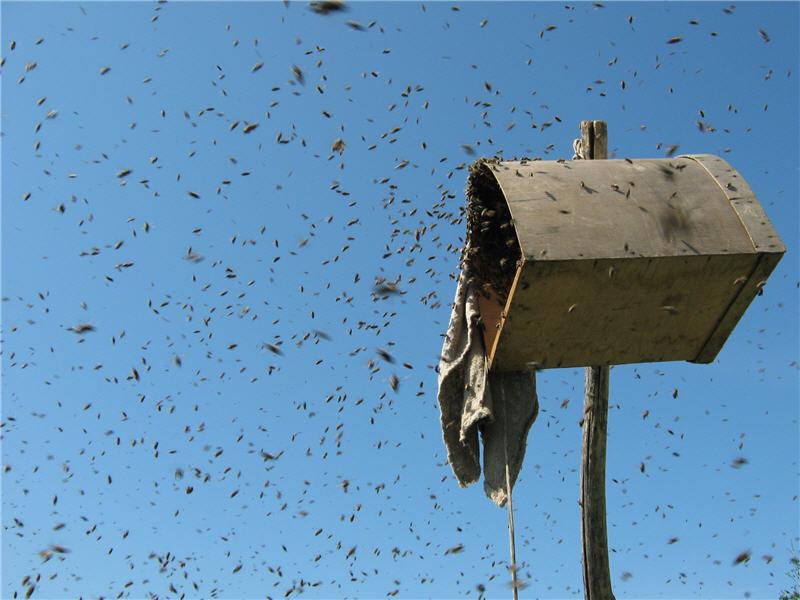 Пчёлы залетают в роевню