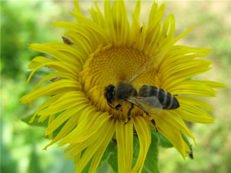 Фото пчелы на цветке девясила высокого