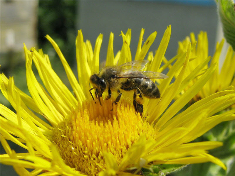 Пчела на цветке девясила