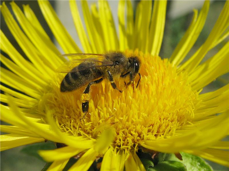 Девясил пчела фото