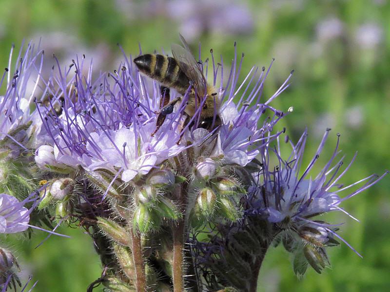 Пчела и цветок фацелии пижмолистной