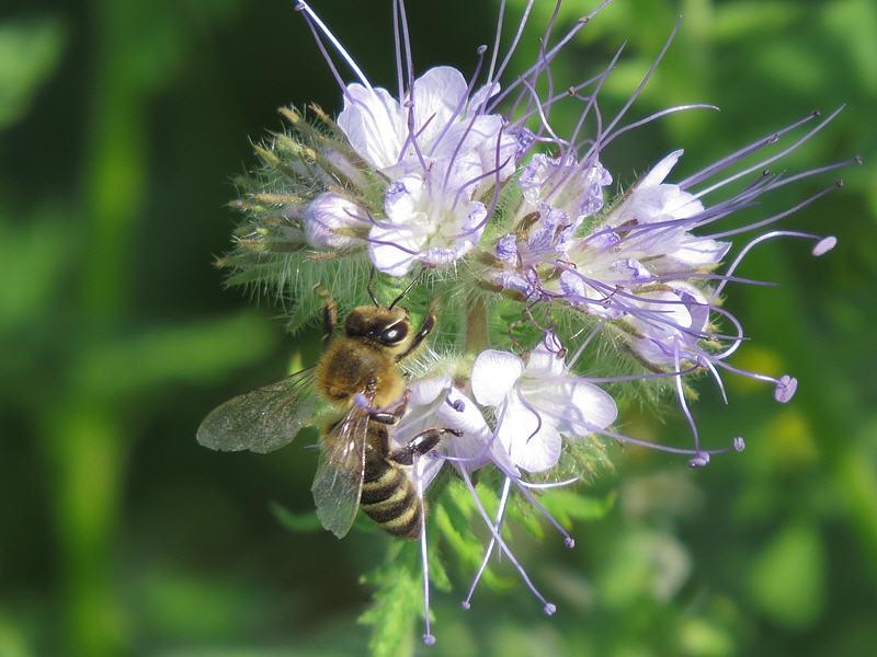 Цветки фацелии посещаемые пчёлами