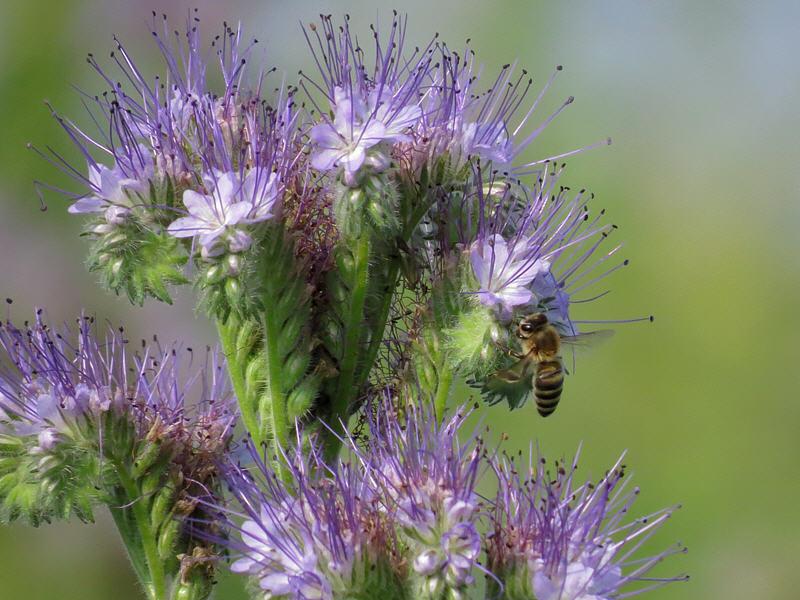 Пчела и соцветие фацелии пижмолистной