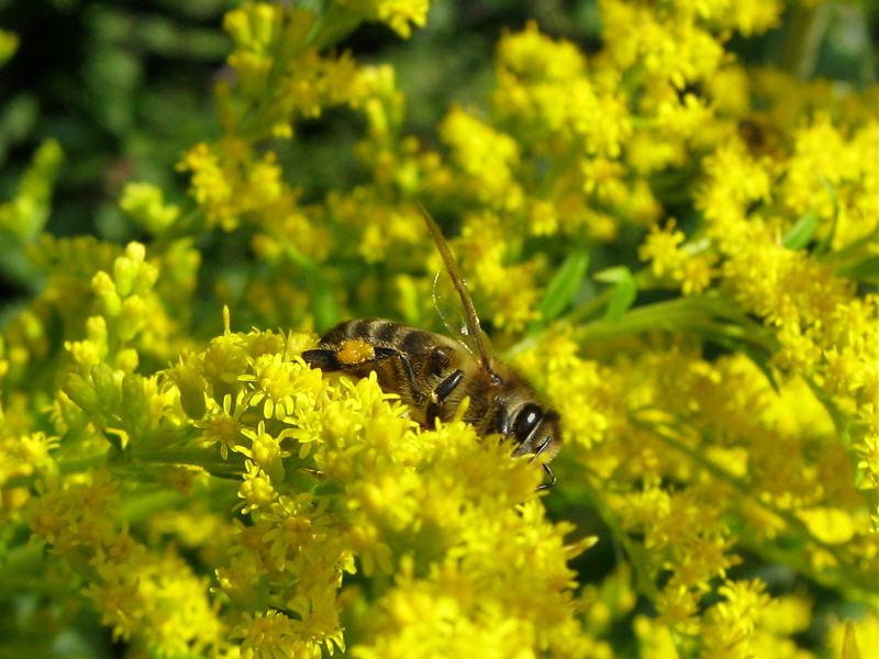 Золотарник канадский и пчела