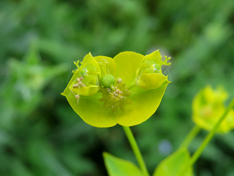 Незаметный цветок молочая