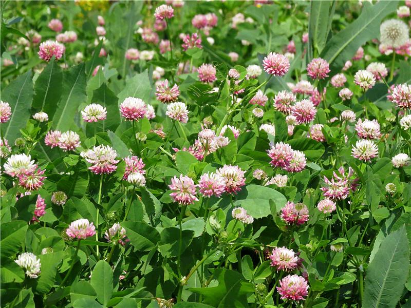 Цветки клевера гибридного