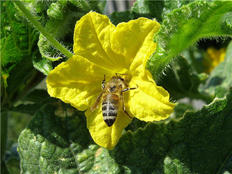 Жёлтый цветок огурца и пчёлка