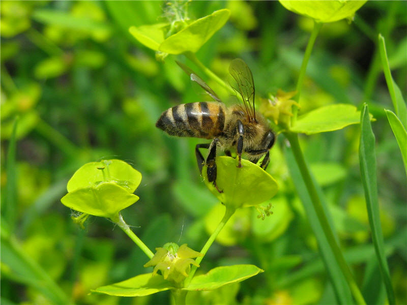 Пчела молочай нектар