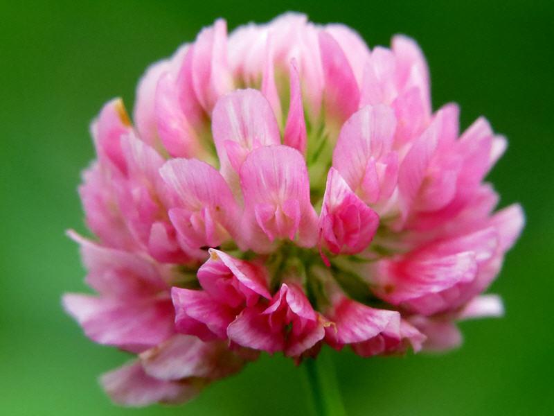 Клевер розовый цветок