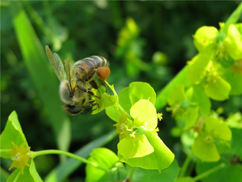 Фото пчелы на молочае остром