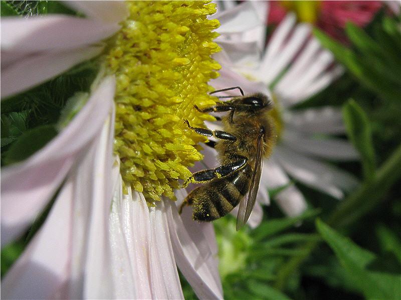Пчела без обножки на астре
