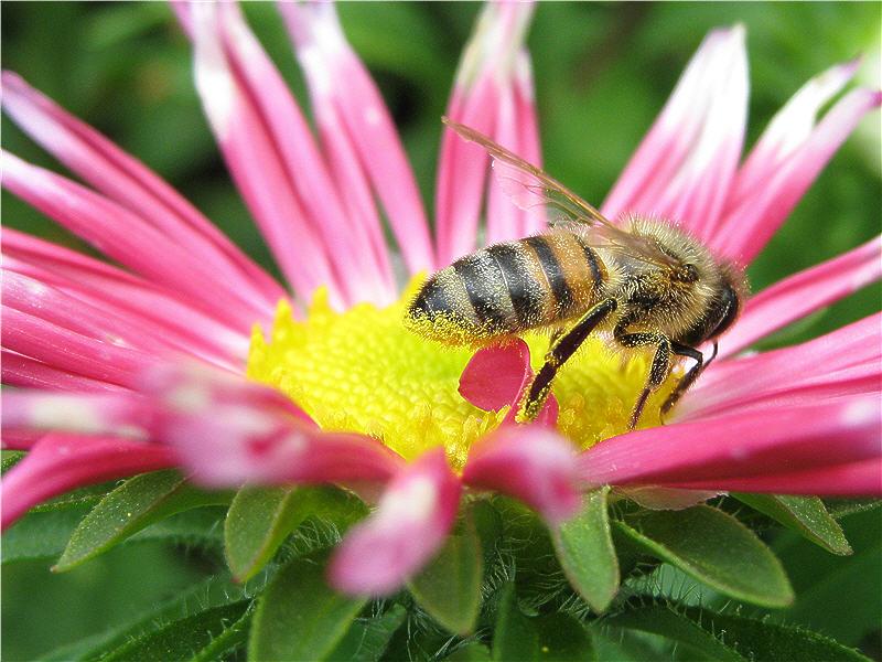 Пчёлка на цветке астры