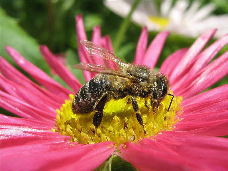 Пчела на цветке астры