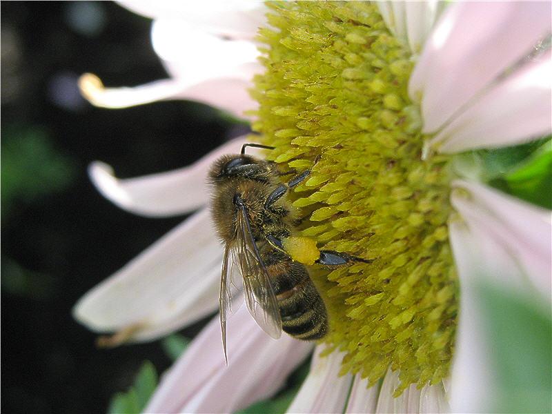 Пчела с обножкой на астре