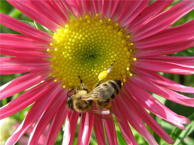 Астра и пчела