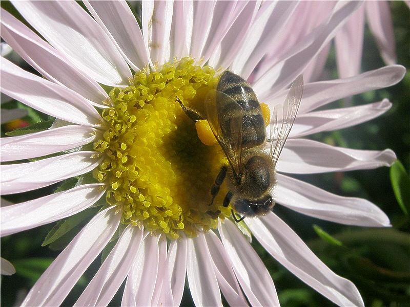 Цветок астры фото пчела