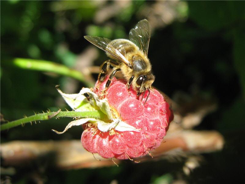 Пчела набирает малиновый сок