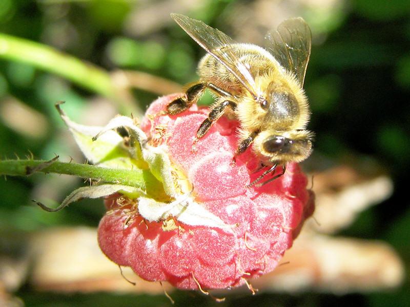 Зачем пчеле есть малину?