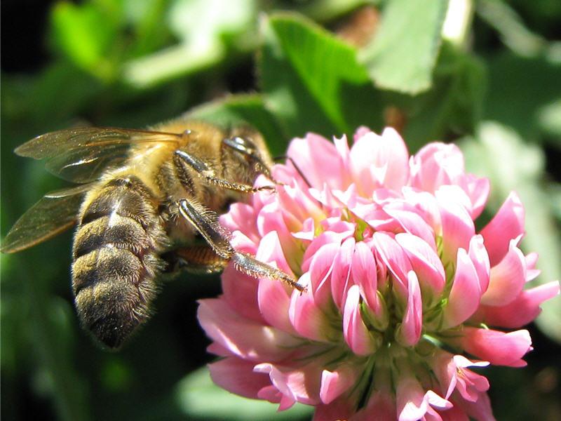 Пчела на цветке клевера розового