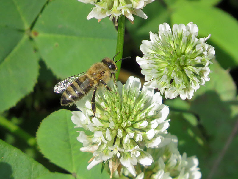 Пчела на цветке клевера