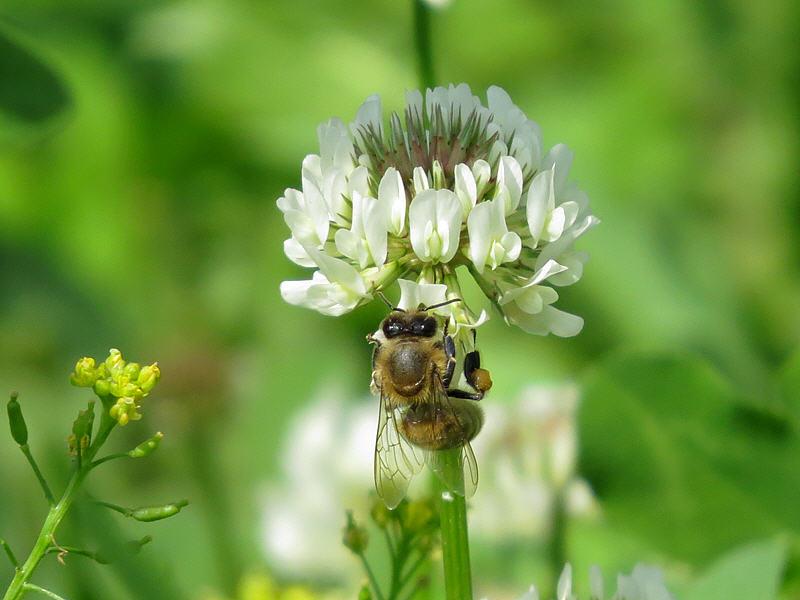 Пчела на цветке клевера фото