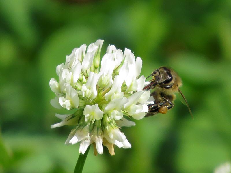 Клевер белый и медоносная пчела