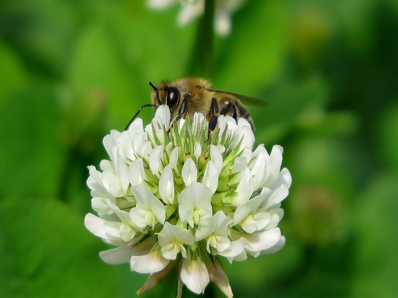 Пчела на цветке клевера ползучего