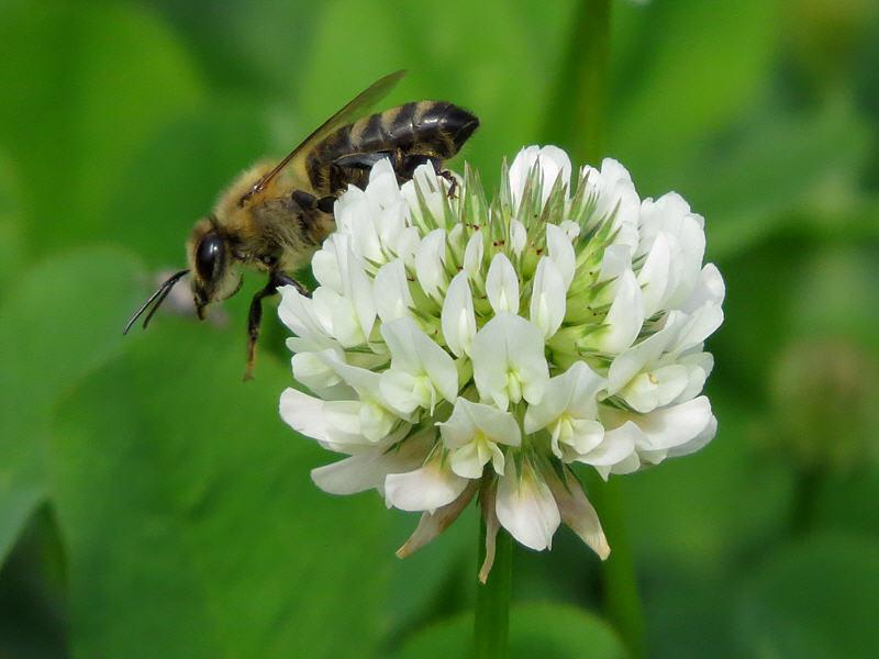 Пчела на цветке клевера голландского