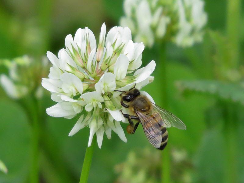 Пчела на цветке клевера белого