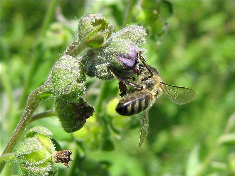 Пчела на цветке чернокорня