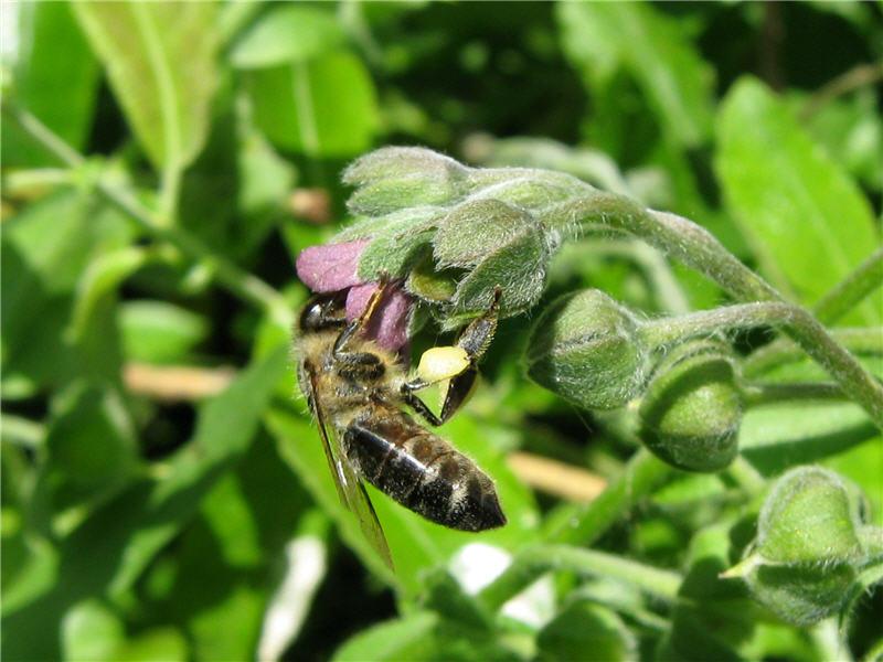 Чернокорень лекарственный и пчела