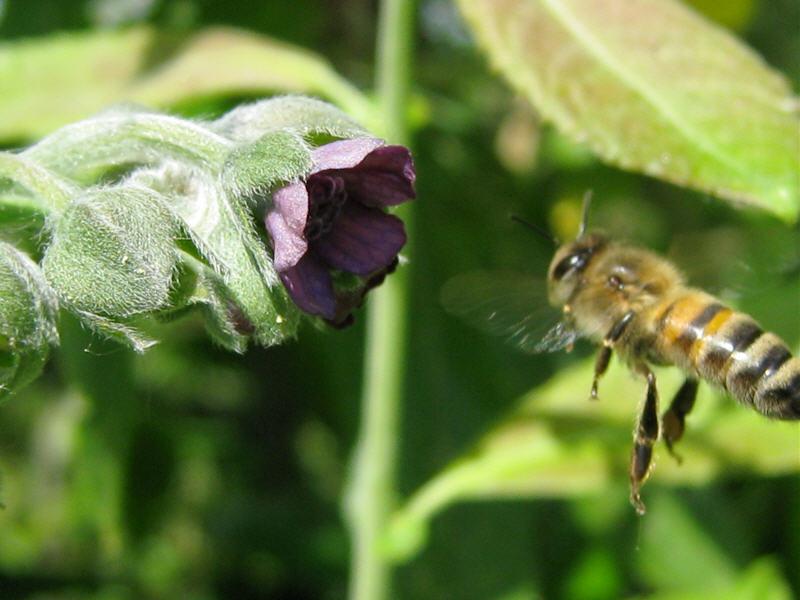 За нектаром к цветку чернокорня